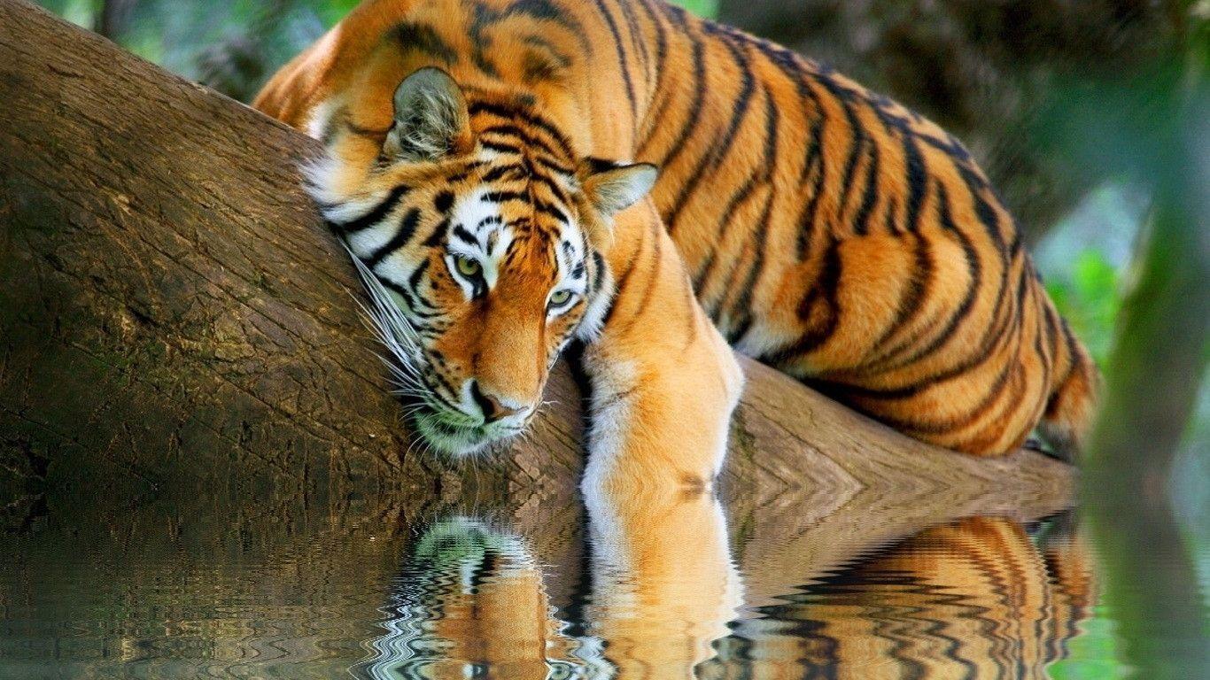 tiger hd images