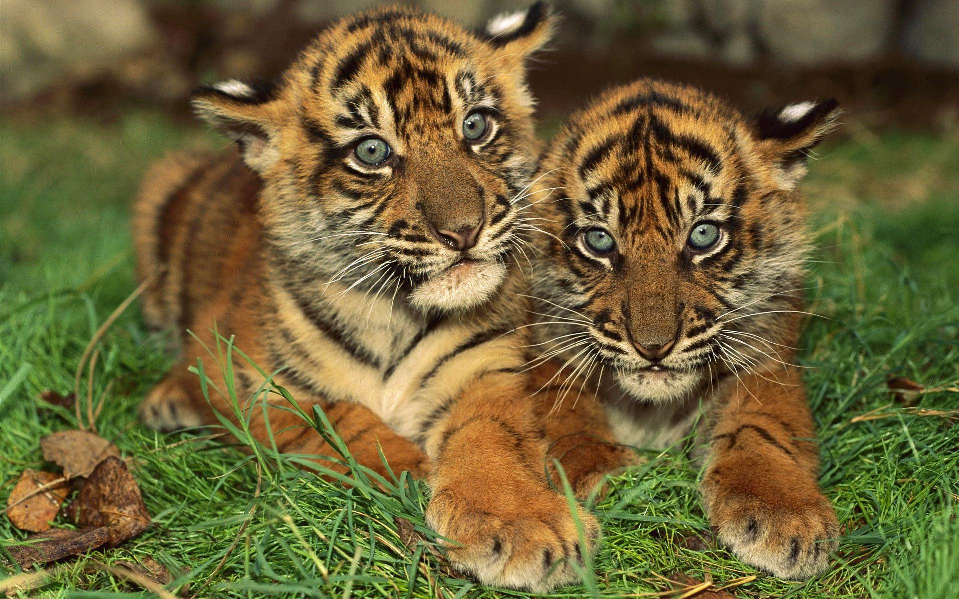 tiger wallpaper download