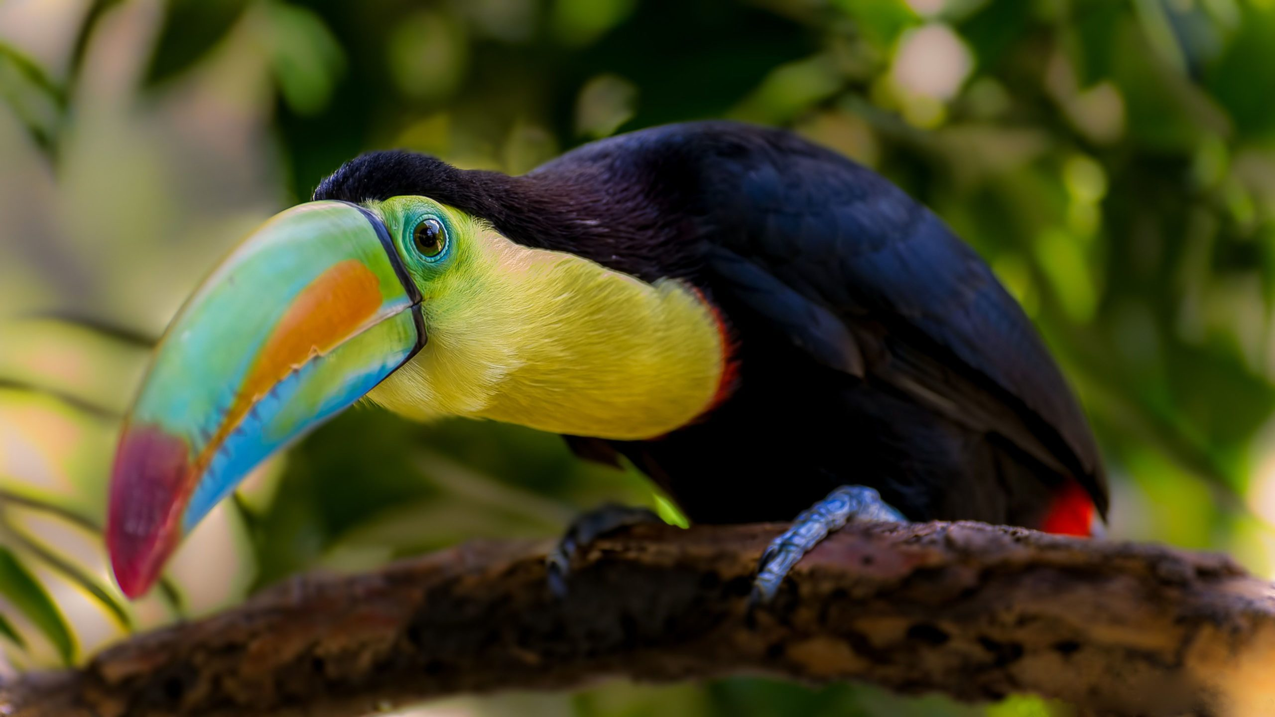 toucan images