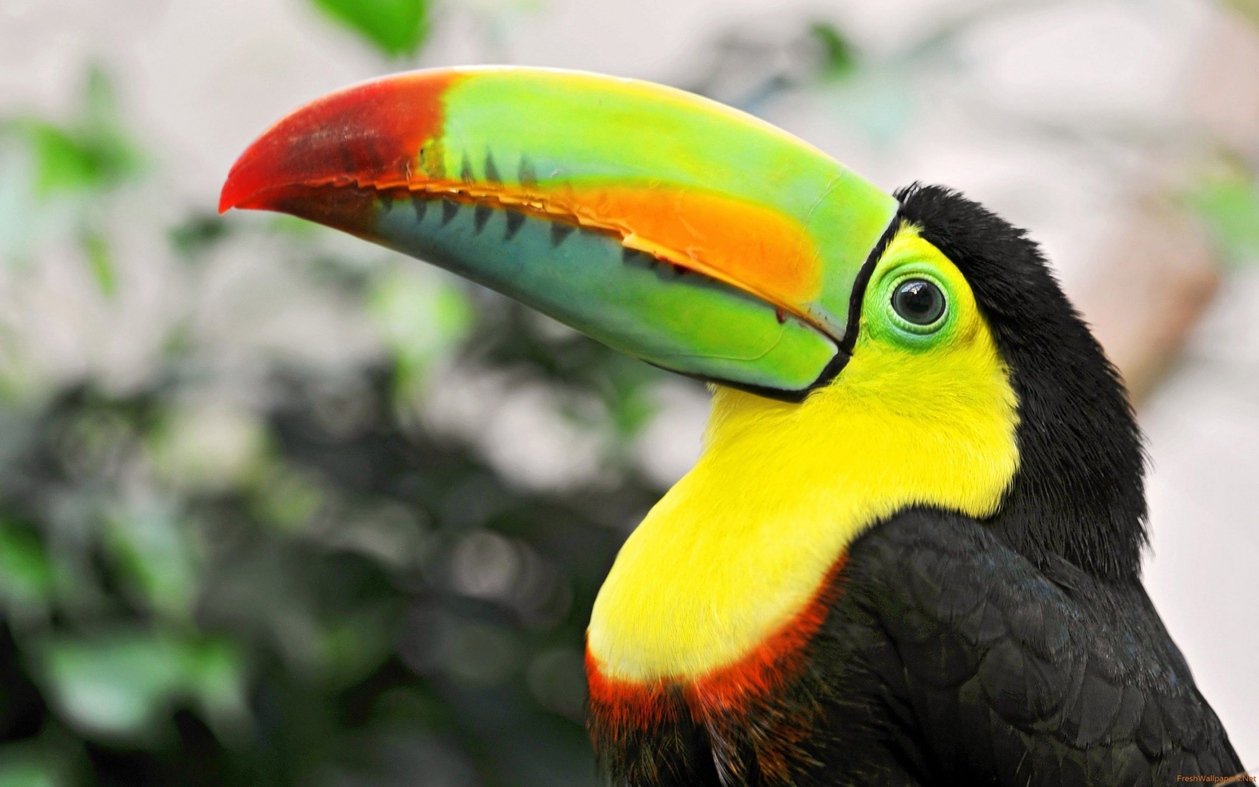 tucan bird pictures