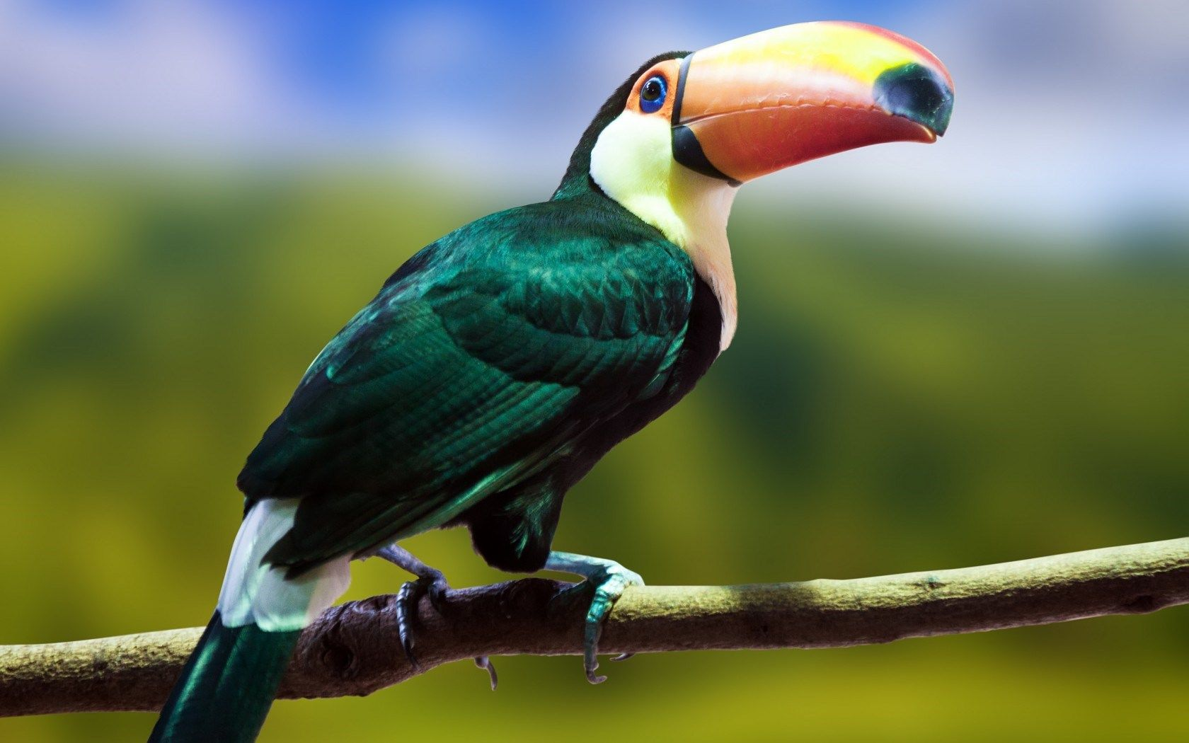 picture of a toucan bird