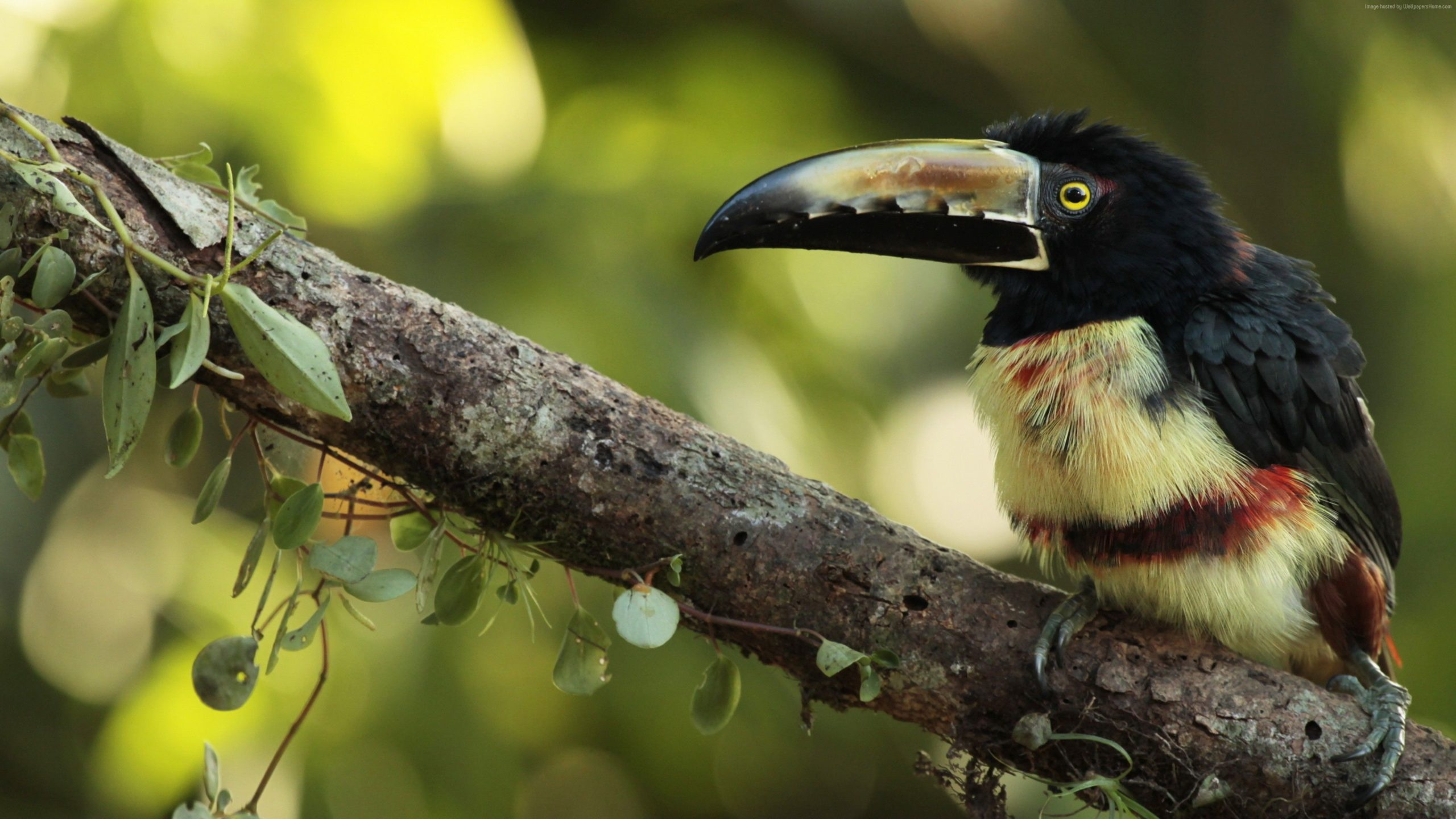 toucan download