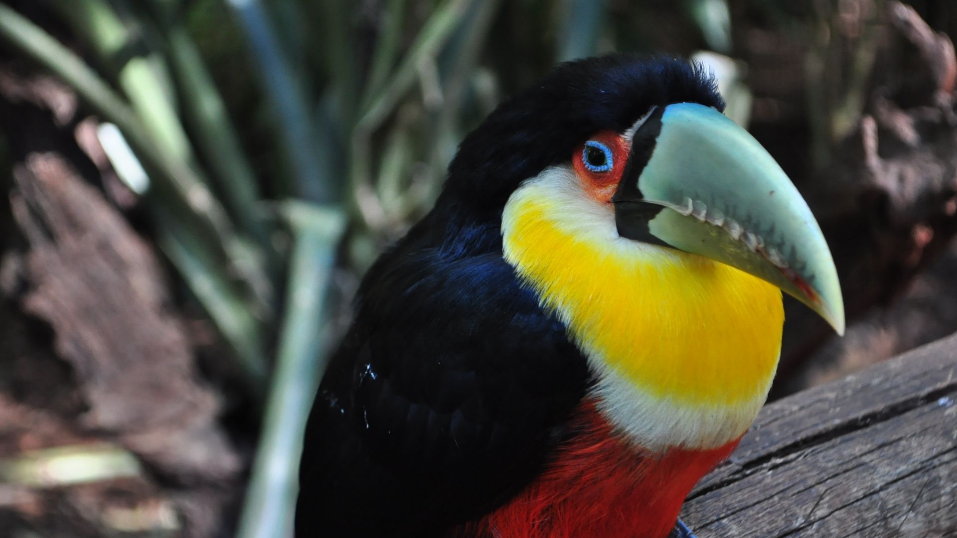 toucans bird free wallpapers