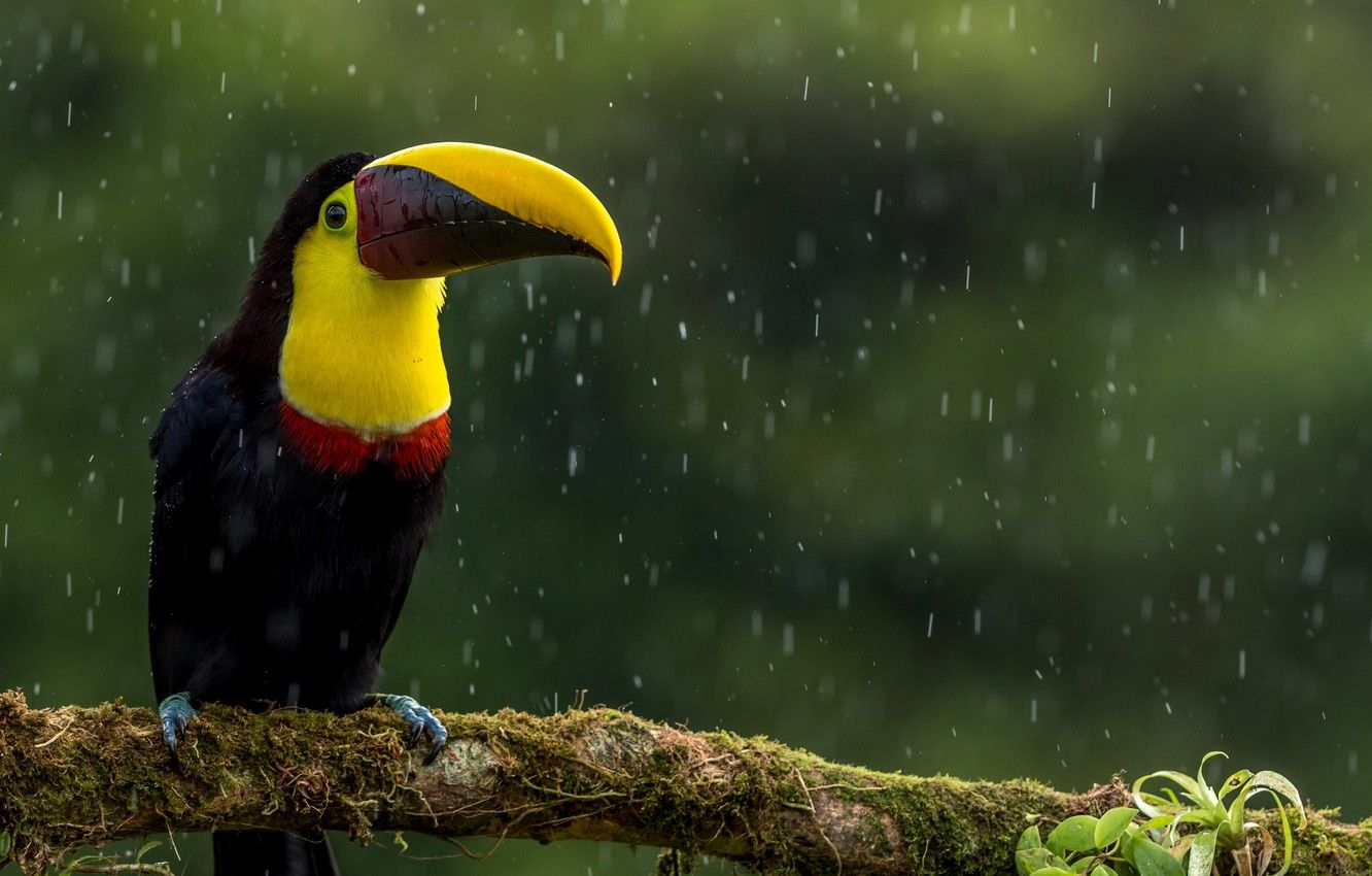 toucan free images