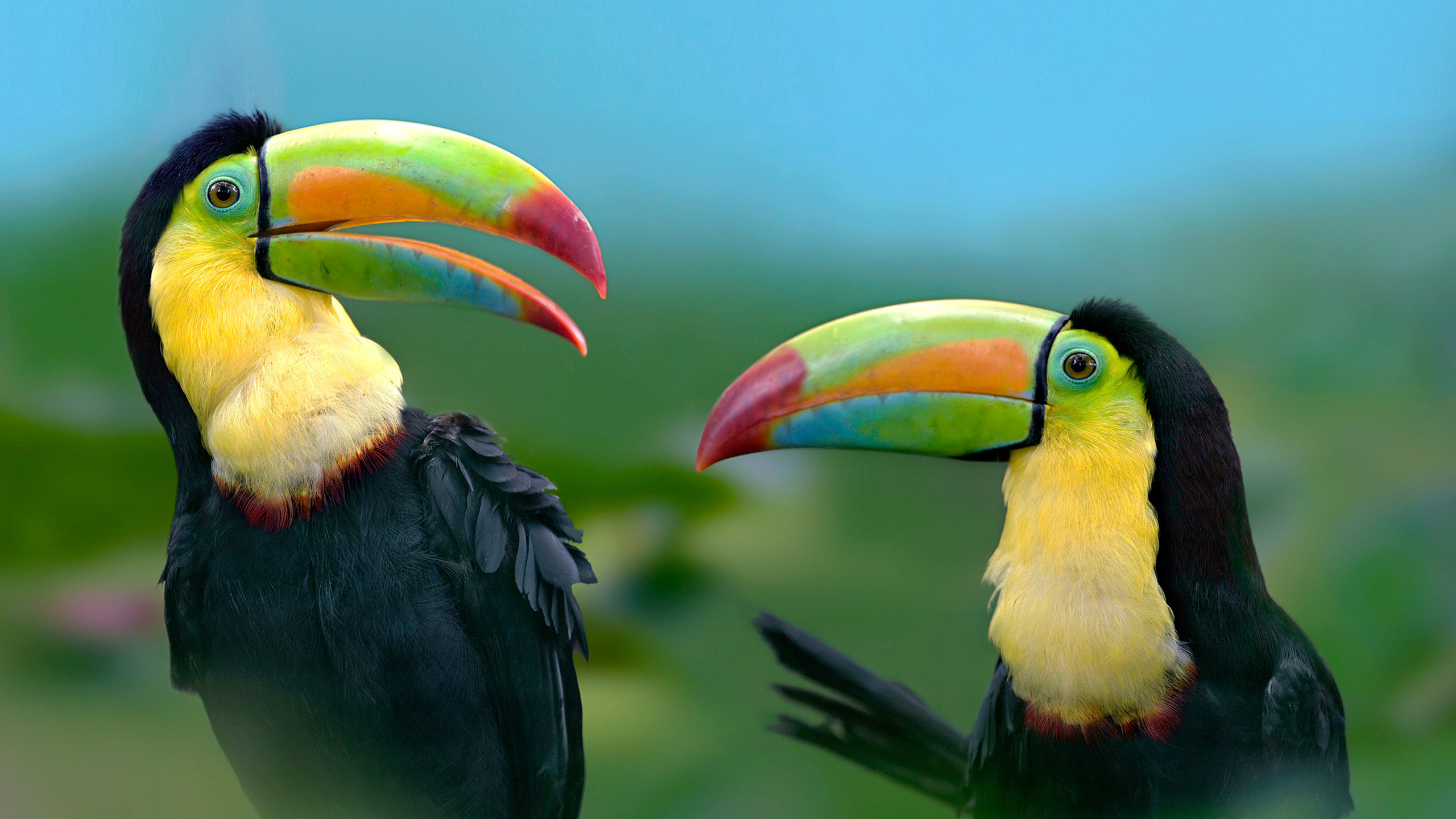 wallpaper with toucan