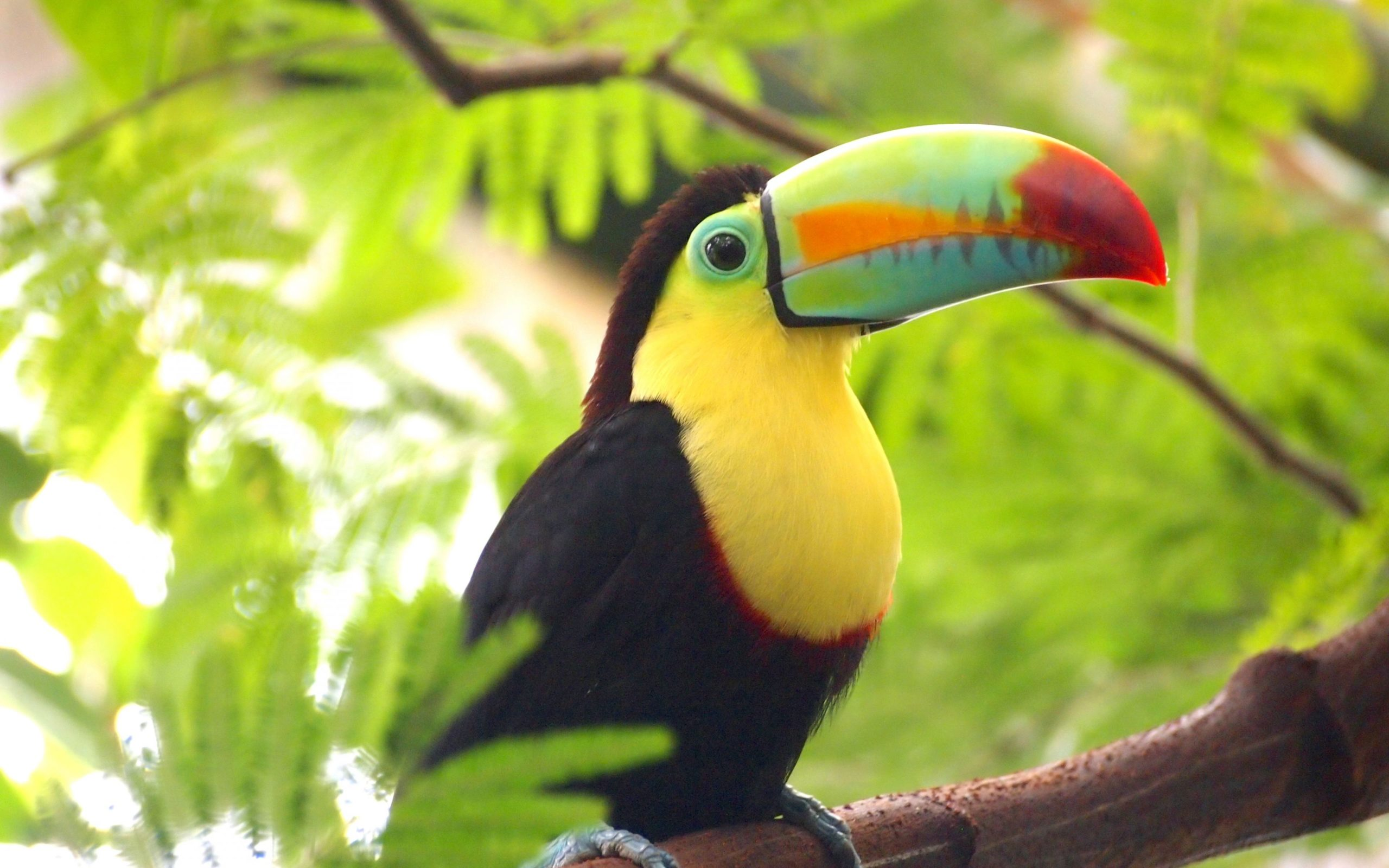 toucan wallpapers hd free