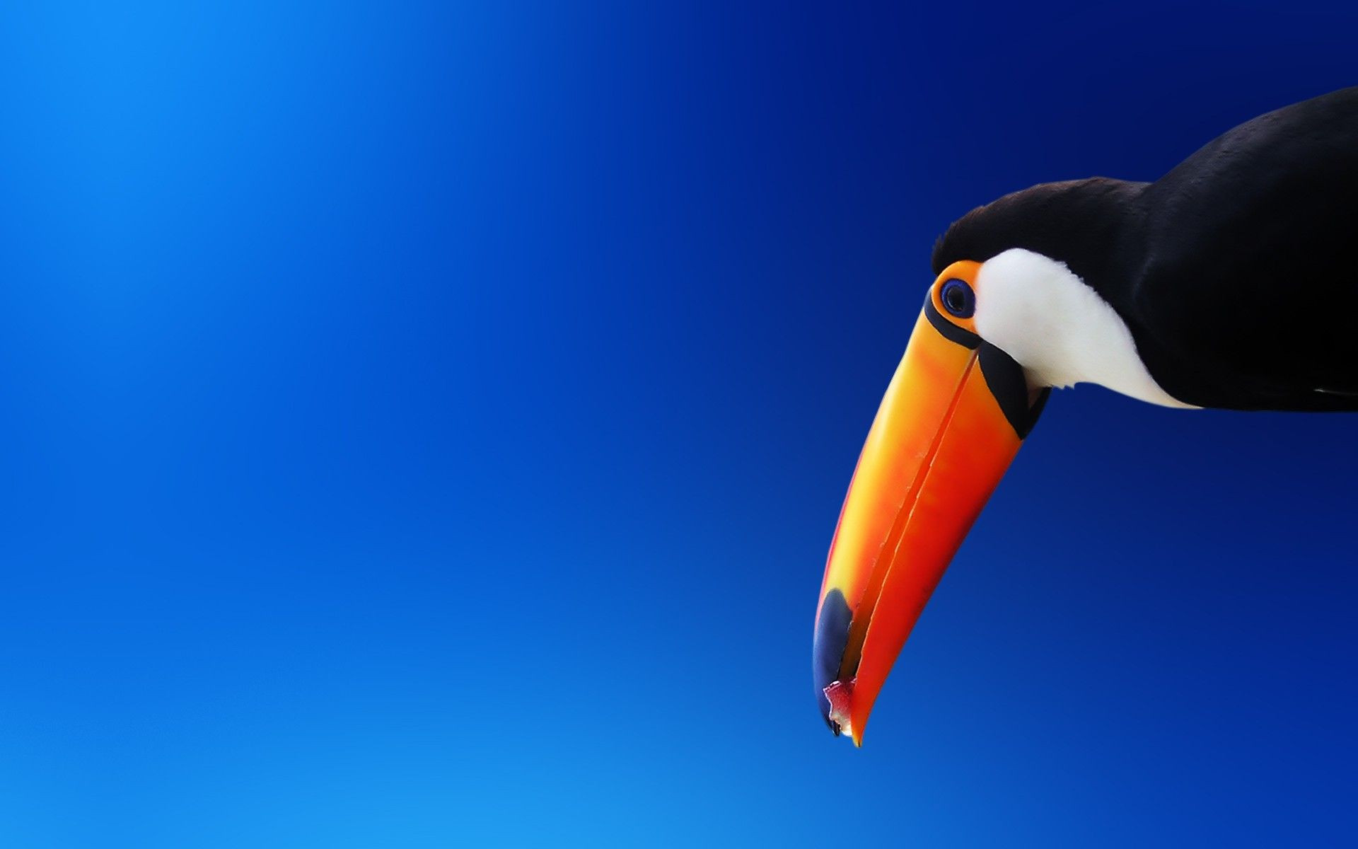 toucans birds for sale