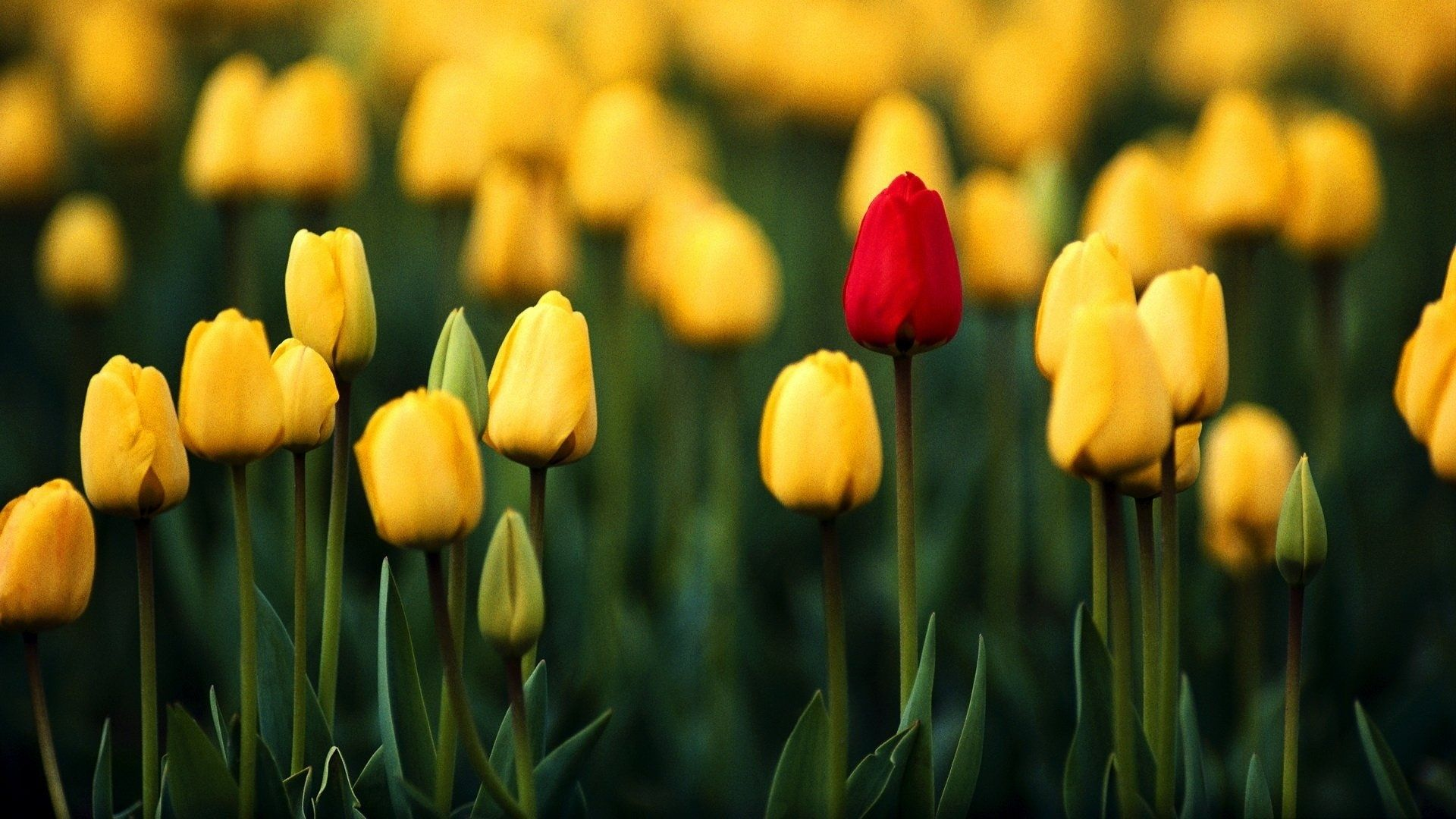 tulip images
