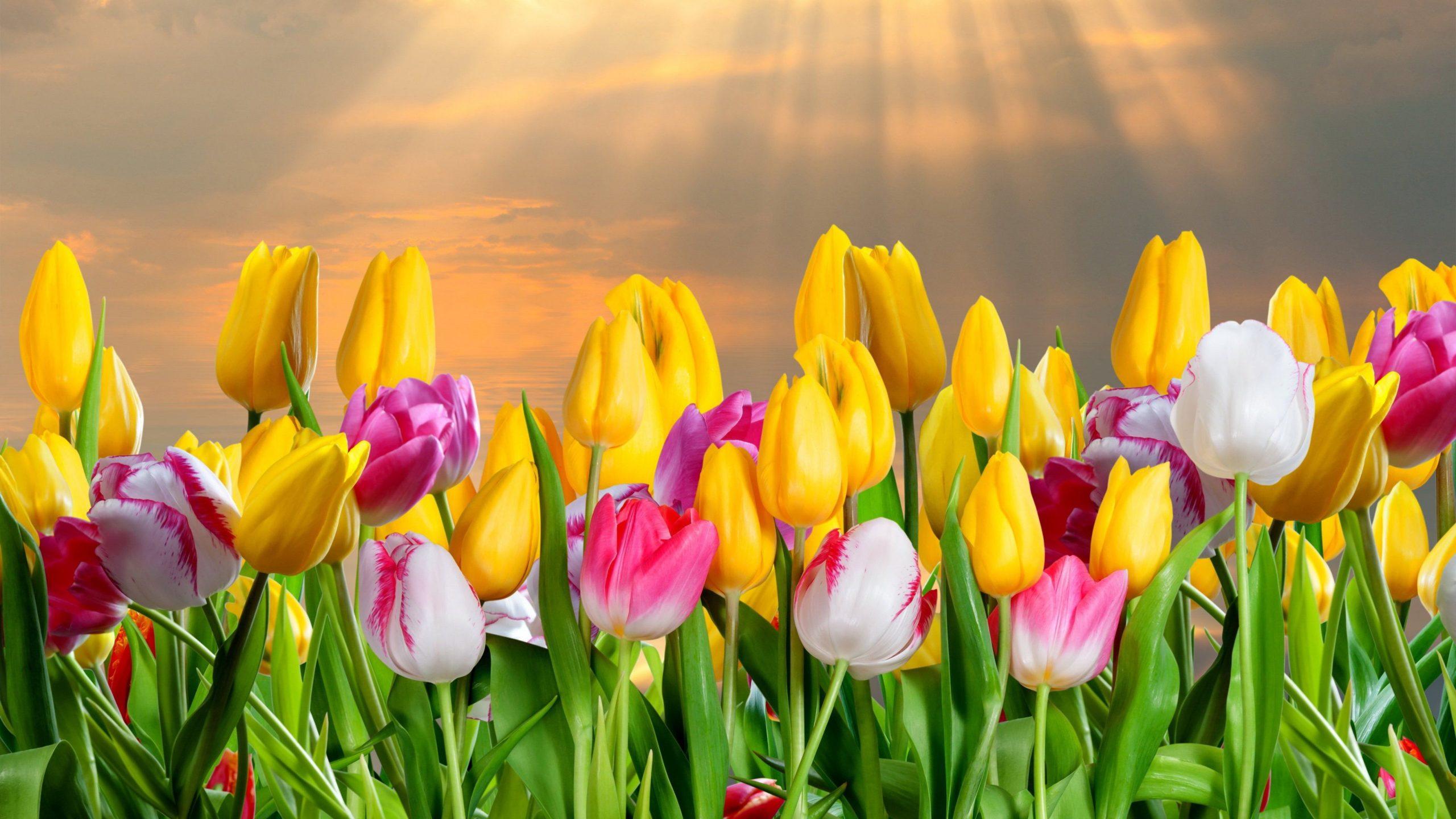 tulip flowers images 4k