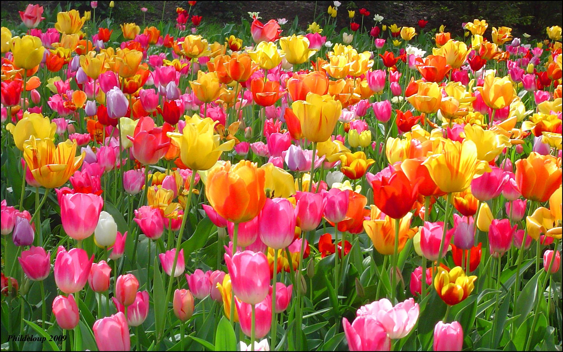 tulip background wallpapers