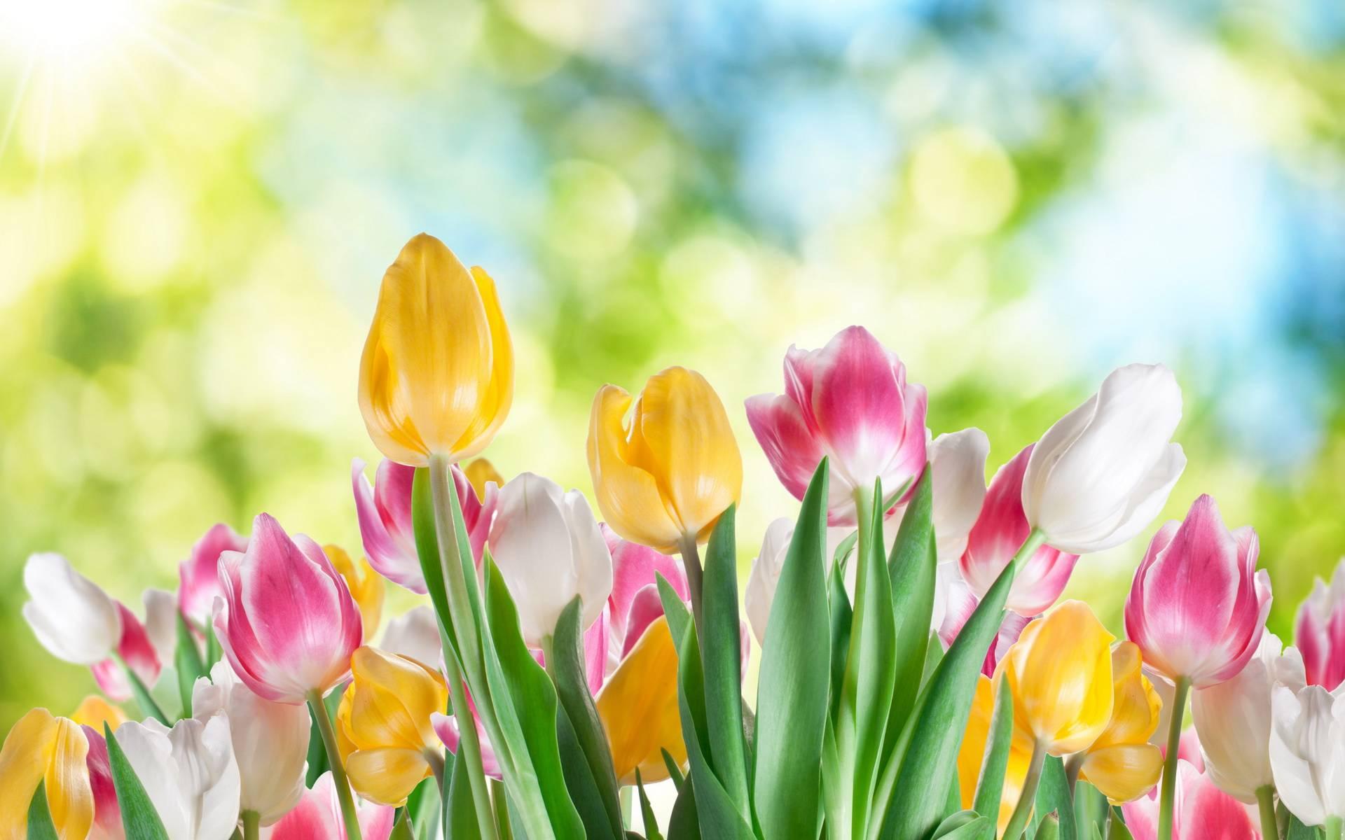beautiful tulips images