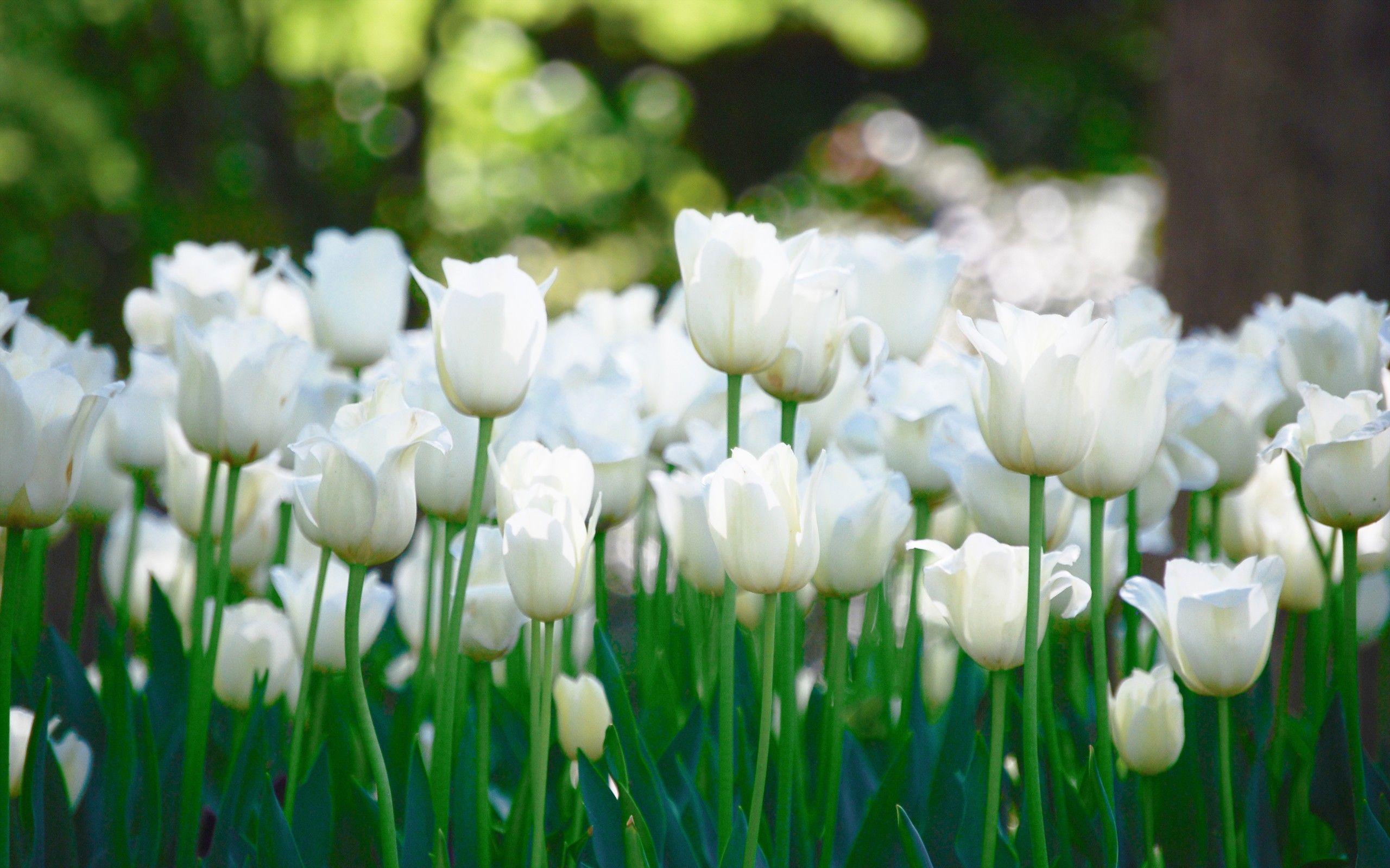 tulips flowers wallpapers hd