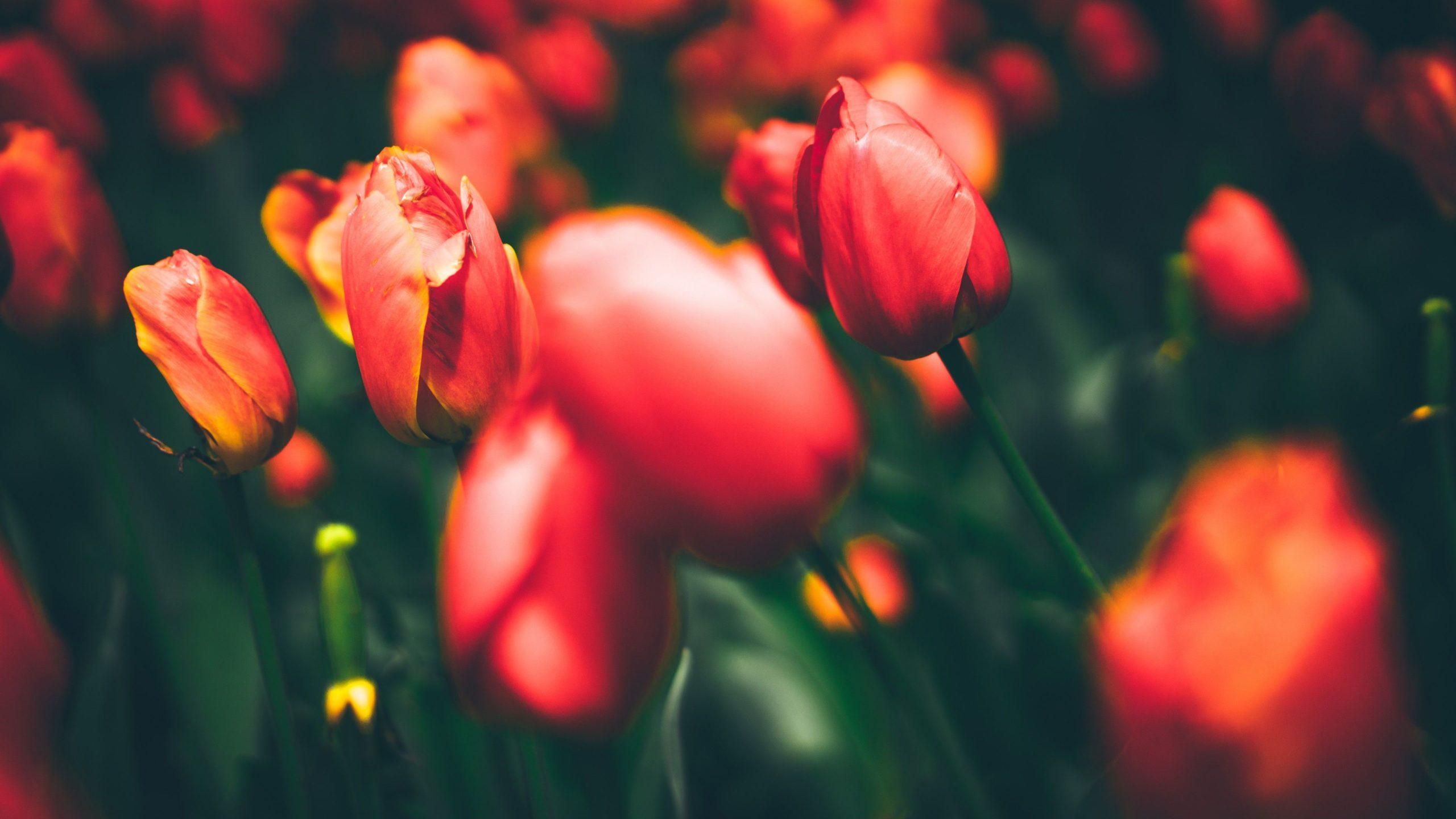 tulips photography hd