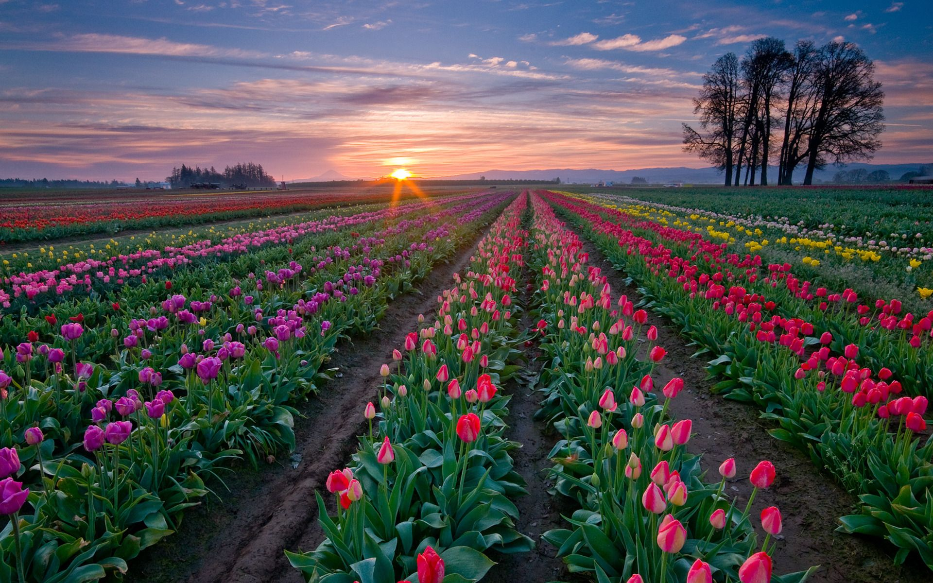 picture of tulips flower hd