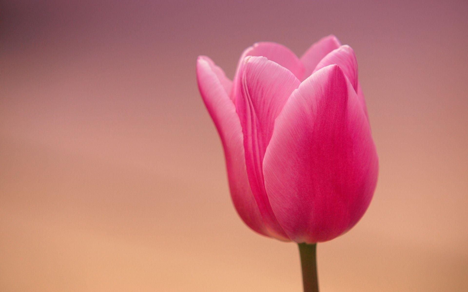 tulip background images