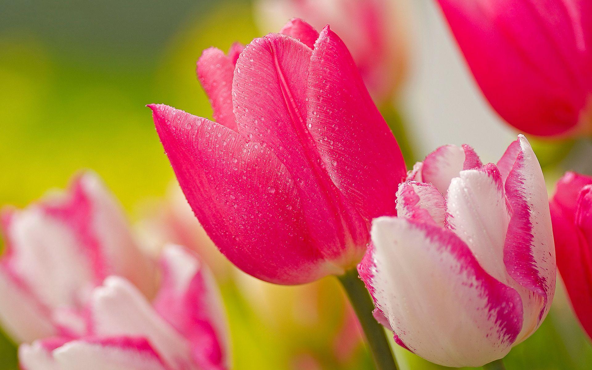 tulip screensavers wallpapers