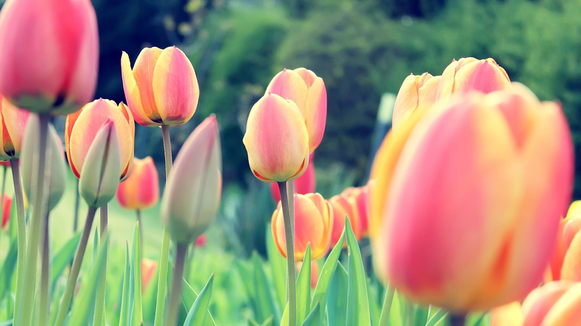 tulip flowers images hd