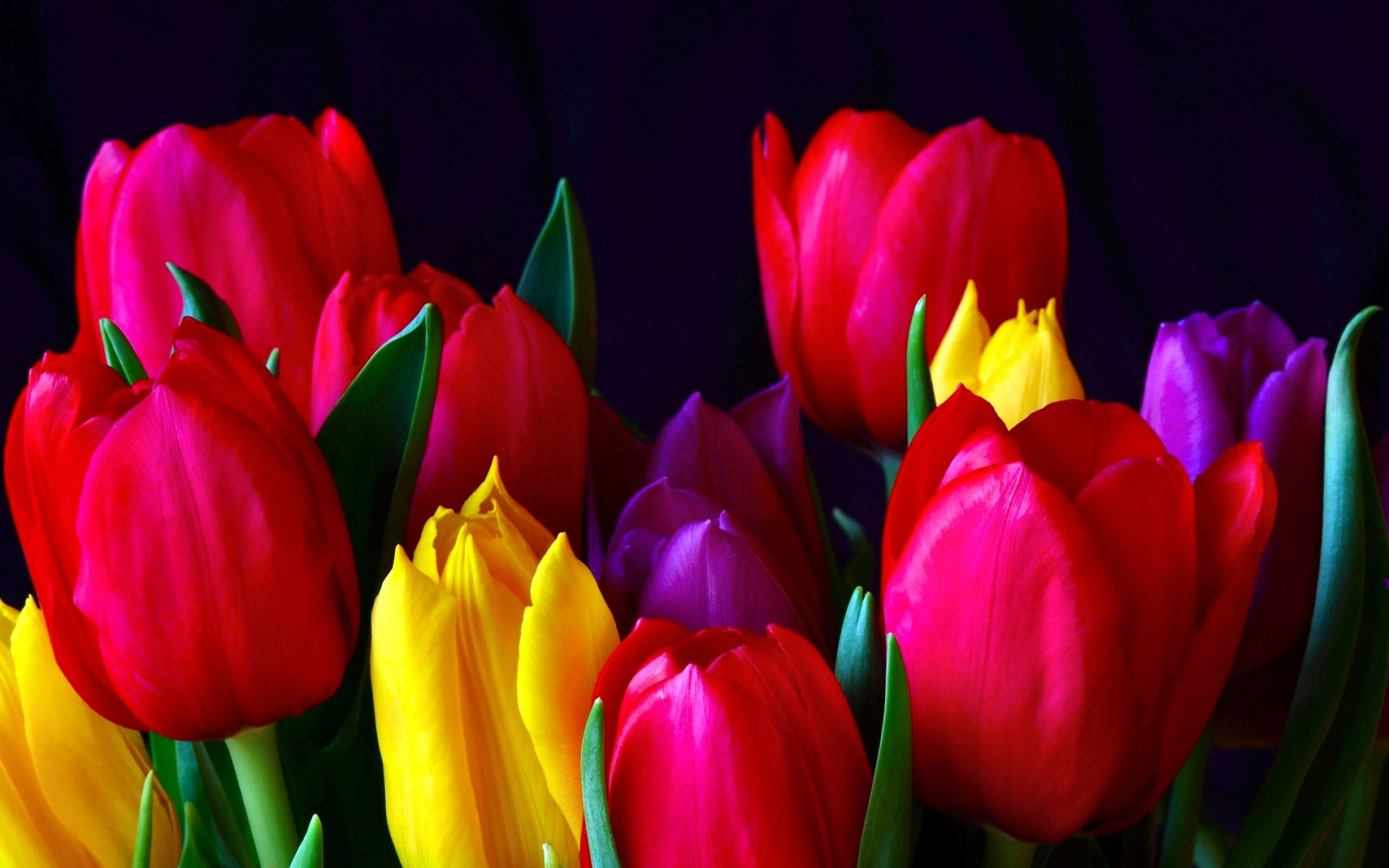 show me a picture of a tulip