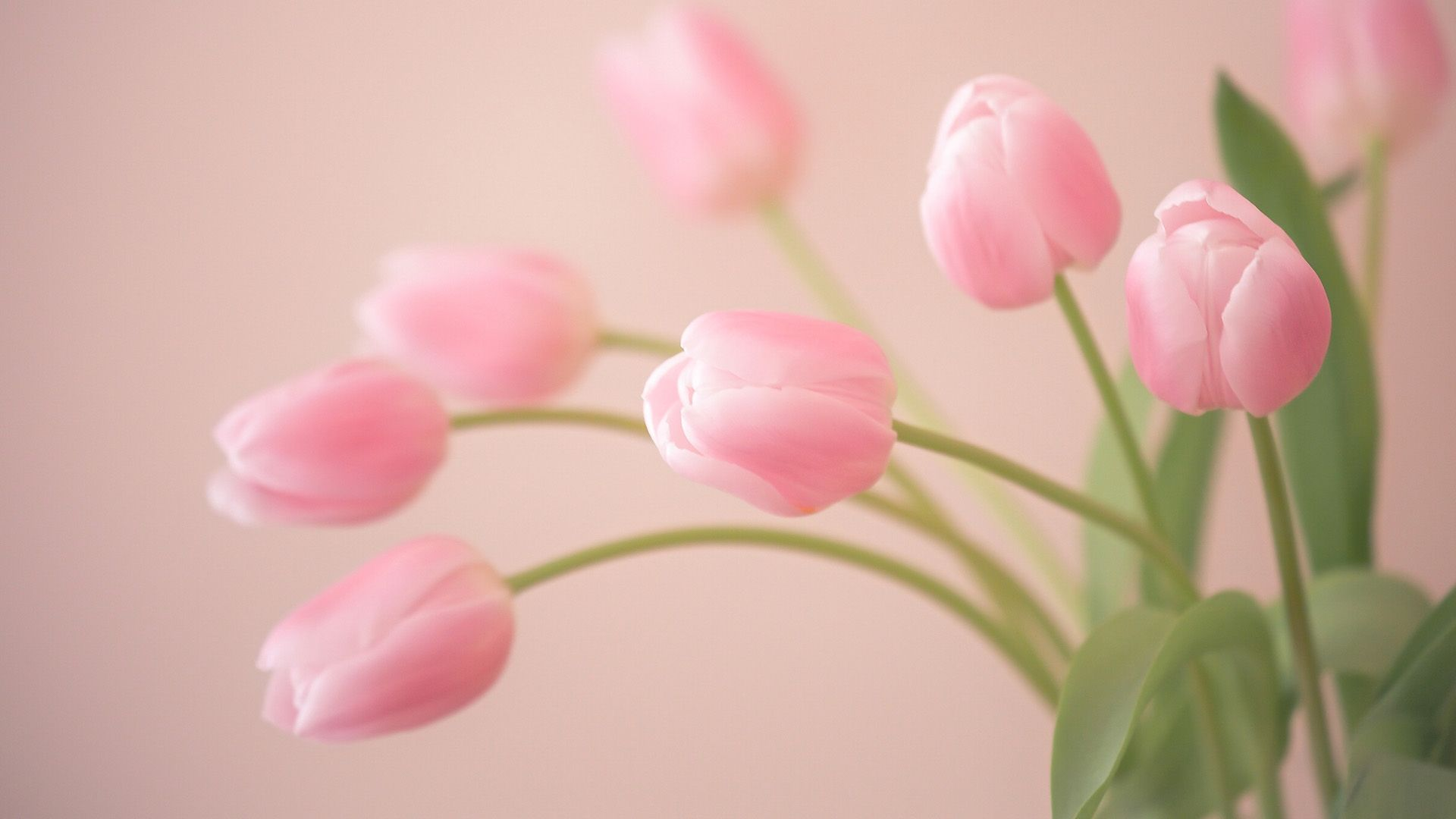tulip photos free download