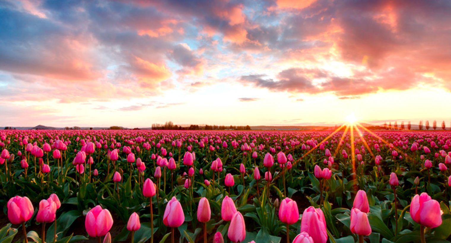 wallpapers tulips