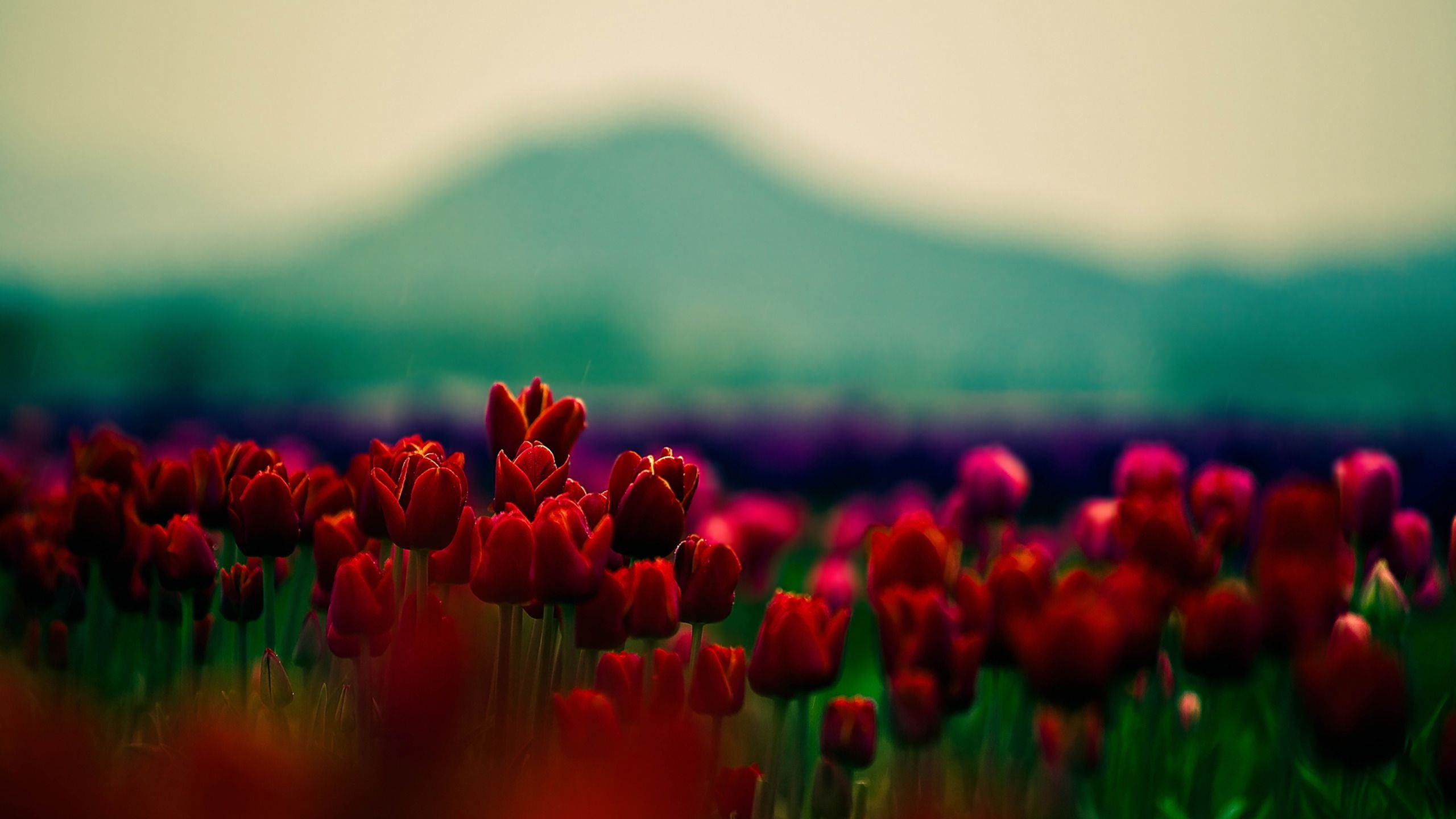 images of pink tulips