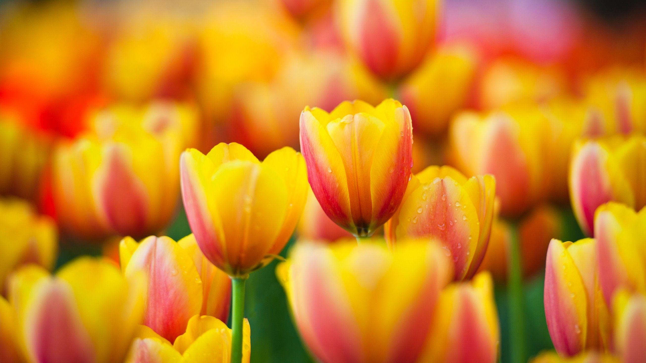 tulip pictures free