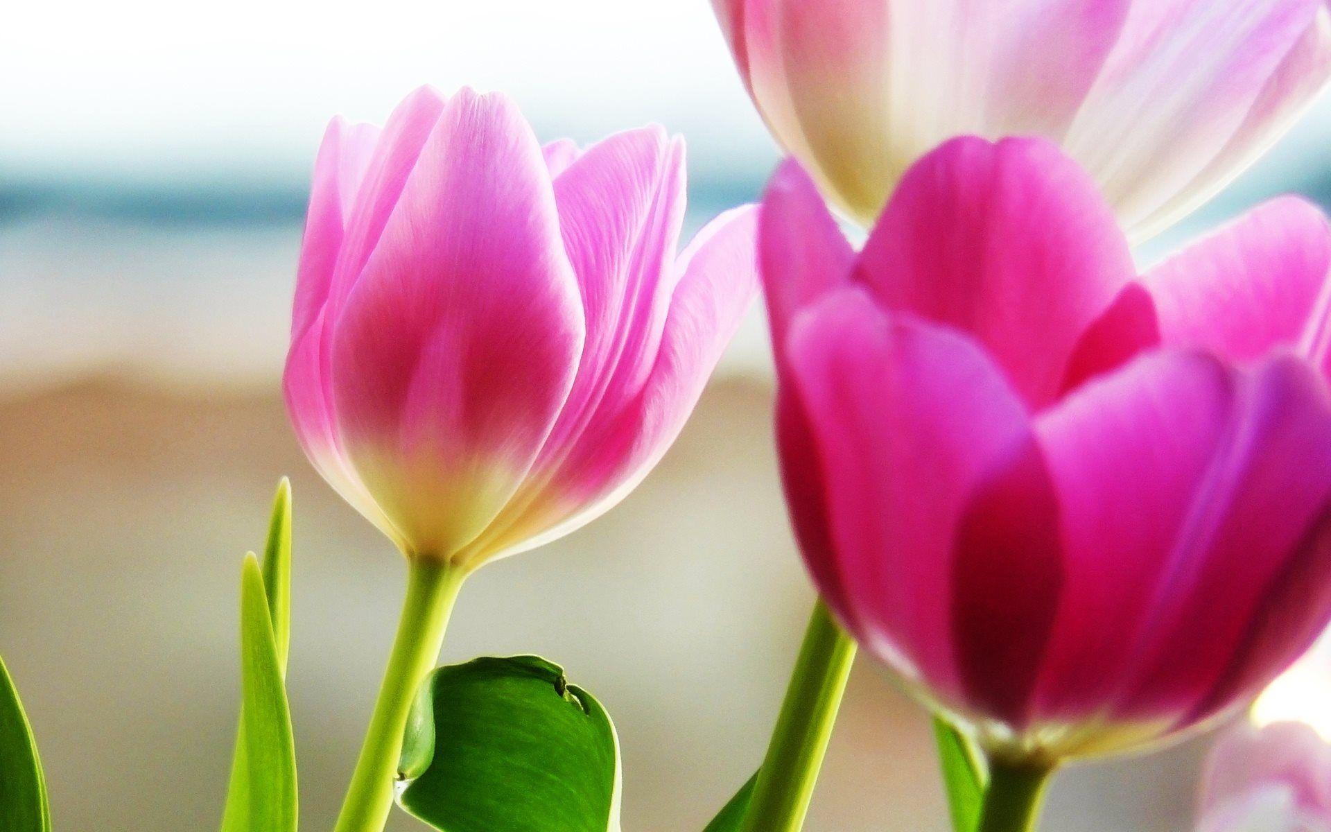 pink tulips wallpaper 4k free download