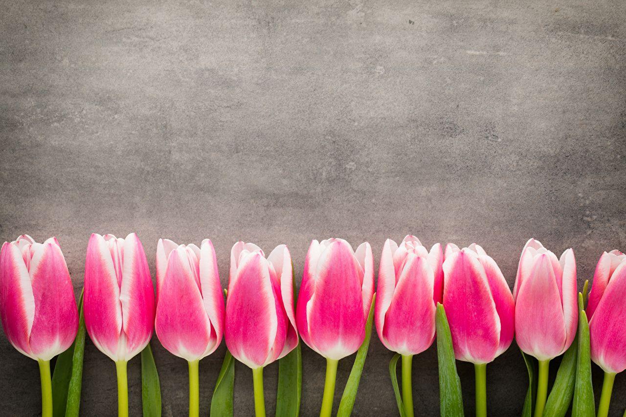 tulip flower hd wallpaper