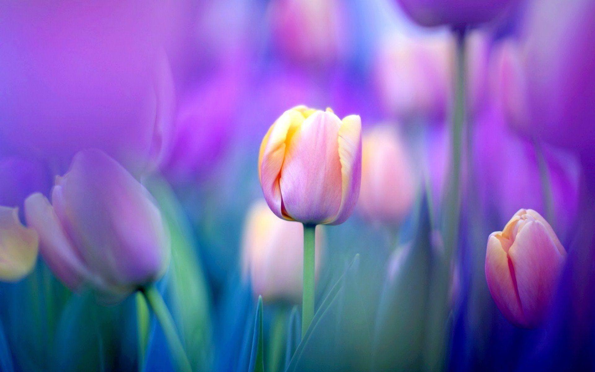 tulip screensavers photos