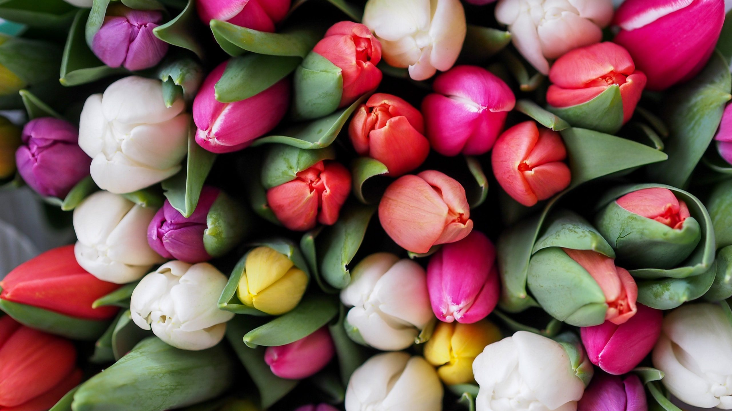 tulip pictures to print