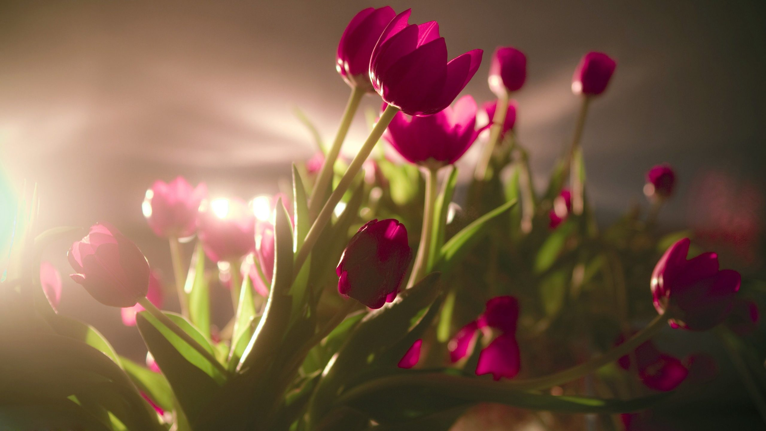 tulip background images free