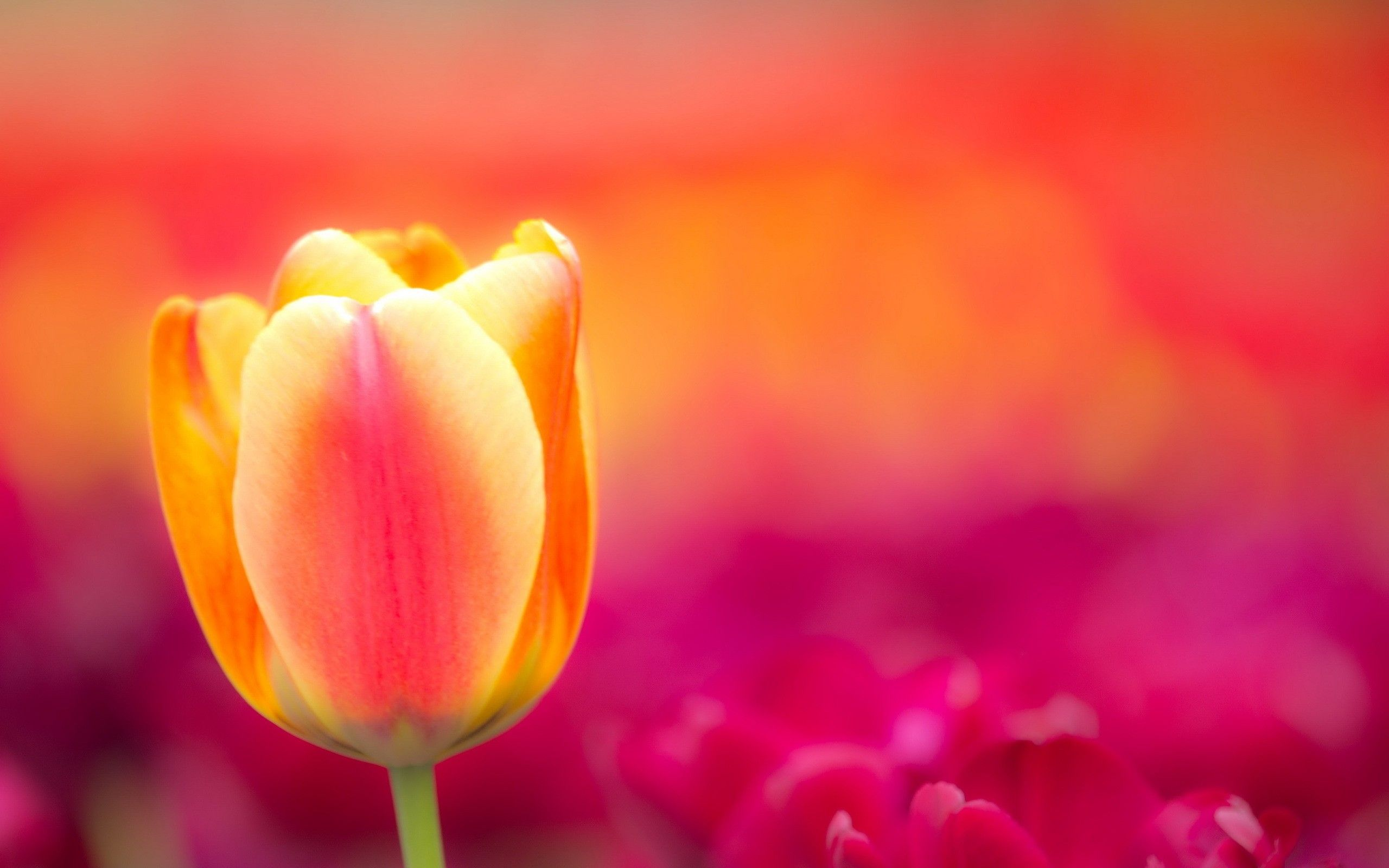 pictures of tulips and roses