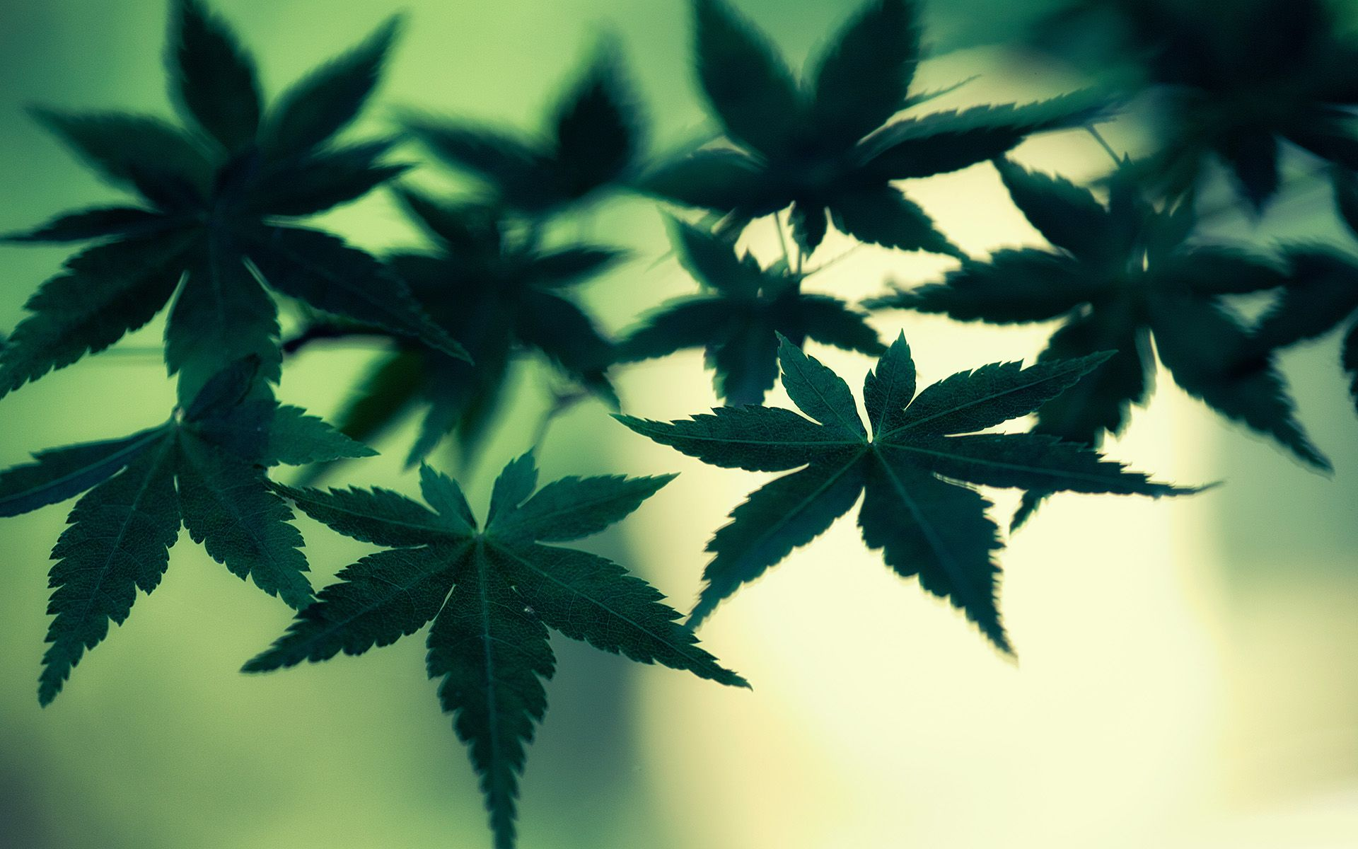 weed wall paper
